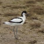 Avocet - Thornham - 2011