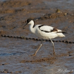 Avocet - Thornham - 2012