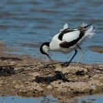 Avocet - Slimbridge WWT - 2019