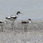 Avocet - Slimbridge WWT - 2020