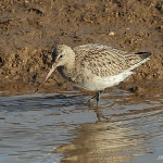 Bar-Tailed Godwit - Titchwell NR - 2014