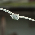Barn Owl - Norfolk - 2014
