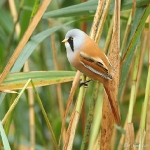Bearded Tit - Norfolk - 2011