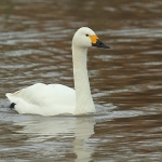 Bewick's Swan - Slimbridge WT - 2014