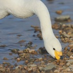 Bewick's Swan - Slimbridge WWT - 2020