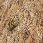 Bittern - Slimbridge - 2012