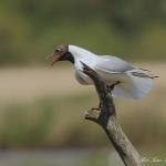 Black Headed Gull - Minsmere NR - 2010