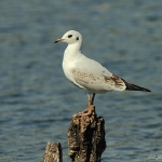 Black Headed Gull - Swindon - 2011