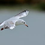 Black Headed Gull - Slimbridge WWT - 2019