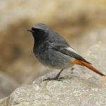 Black Redstart - Brean - 2015