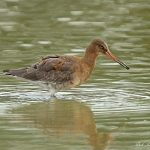 Black-Tailed Godwit - Slimbridge WT - 2013
