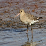 Black-Tailed Godwit - Titchwell NR - 2013