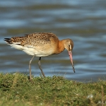 Black-Tailed Godwit - Cley NR - 2013
