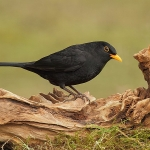 Blackbird - Brocton - 2012