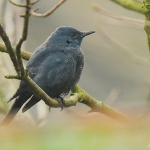 Blue Rock Thrush - Stow - 2017