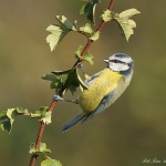 Blue Tit - Upton Warren NR - 2011