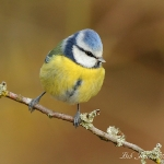 Blue Tit - Forest of Dean - 2012