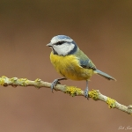 Blue Tit - Upton Warren NR - 2013