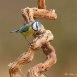 Blue Tit - Brocton - 2012