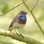 Bluethroat - Welney - 2011