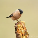 Bullfinch - Brocton - 2013