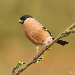 Bullfinch - Brocton - 2012