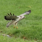Buzzard - Gigrin Farm - 2013