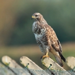 Buzzard - Slimbridge - 2016