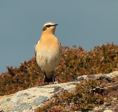 Wheatear - South Stack NR - 2010