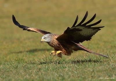 Red Kite - Gigrin Farm - 2016