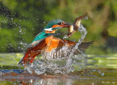Kingfisher - 2017
