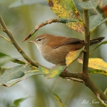Cetti's Warbler - Titchwell NR - 2011