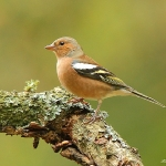 Chaffinch - Forest of Dean - 2011
