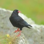 Chough - South Stack - 2011