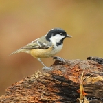 Coal Tit - Highnam - 2012