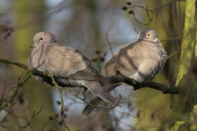 Collared Dove - Titchwell NR - 2010