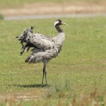 Common Crane - Slimbridge WWT - 2014