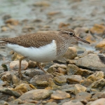Common Sandpiper - Slimbridge - 2017
