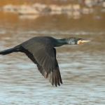 Cormorant - Slimbridge WWT - 2018