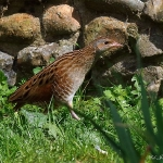 Corncrake - Norfolk - 2016