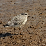 Curlew Sandpiper - Titchwell NR - 2013