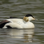 Eider - Slimbridge WT - 2013