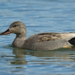 Gadwall - Slimbridge - 2017