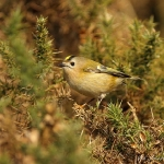 Goldcrest - Brocton - 2013