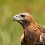 Golden Eagle - 2012