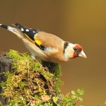 Goldfinch - Wark's - 2011