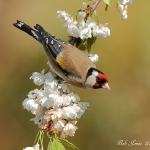Goldfinch - Gilfach Farm NR - 2012
