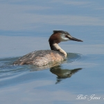 Great Crested Grebe - Cott\'s Water Park - 2011