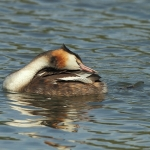 Great Crested Grebe - Swindon - 2011