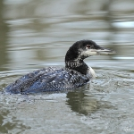 Great Northern Diver - Cheltenham - 2013